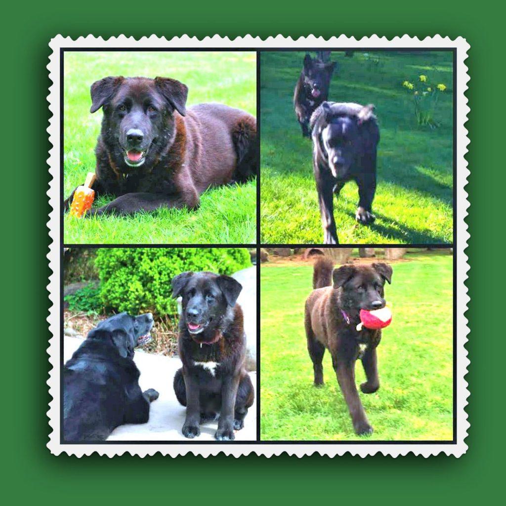 Jasmine the Black Lab Shelter Dog