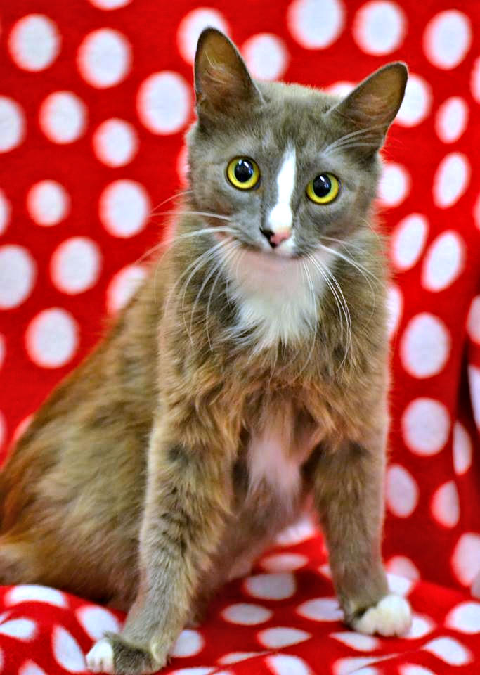 Photo of petite, silky, affectionate female cat.